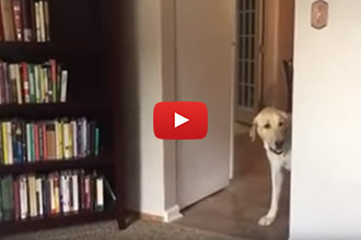 Can You Guess How This Labrador Finally Made It Through The Doorway?