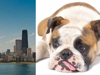 """Canine Flu Outbreak Approaches """"Epidemic"""" Level in Chicago"""