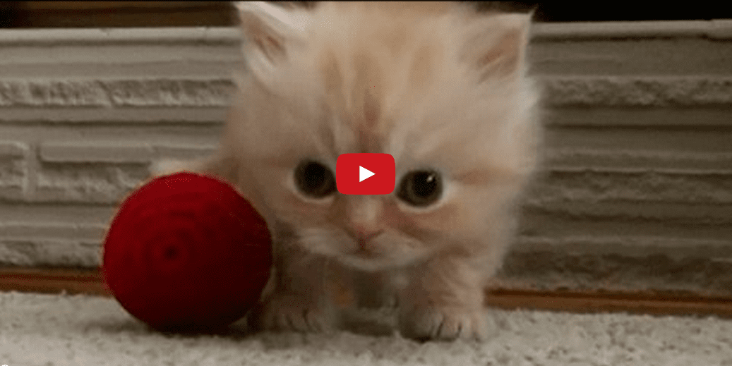 Copper the Kitten Does a Little Dance- And It is Honestly Very Good. Seriously. Look at it.