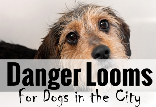 Danger Afoot For Dogs of San Francisco