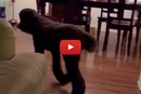 Does Your Dog Do This? This Poodle Knows The Routine!