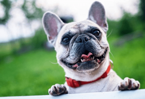 Dog Ear Infections: Causes, Treatment and the Best Home Remedies