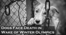 Dogs Face Death in Wake of Winter Olympics: One Shelter's Race to Save Hundreds