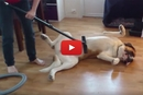 Ever Cleaned Your Dog With A Vacuum?