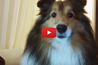 Ever Seen A Collie That Is Camera Shy?