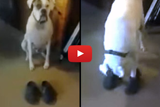Ever Seen A Dog Put On His Own Shoes?