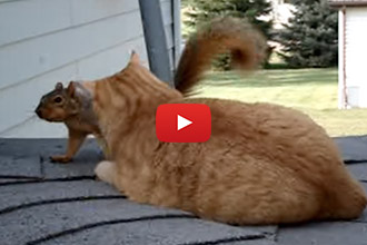 Ever Seen A Wrestling Match Between A Cat And Squirrel?