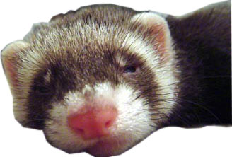 Ferret Products