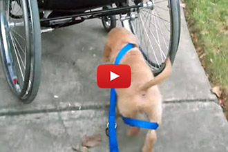 His Owner Can't Do It, So This 9-Week-Old Puppy Walks Himself Instead