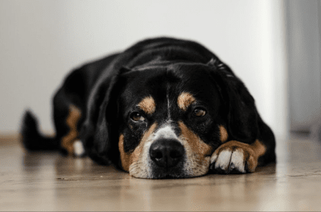 How to Help a Dog with Hip Dysplasia (Home Treatments)