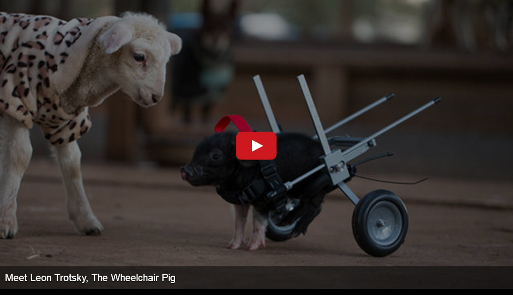 I Don't Know if This Pig is More Cute or Inspiring. Absolutely Amazing!!