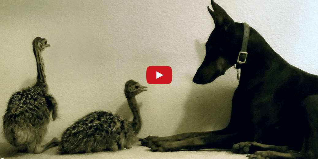 I've Never Seen a Baby Ostrich Before- And Before Now, Neither Has This Doberman! Watch them Meet Here at EntirelyPets!!