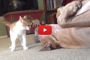 Kitten Versus Pitbull, The Ultimate Wrestle Match!