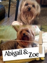 Meet Abigail And Zoe, The New York, Yorkie Pair!