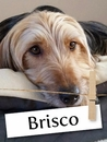 Meet Brisco, The Brilliant Terrier!