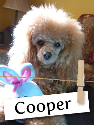 Meet Cooper: The Poodle Who Helped Fill a Void in His Owner's Heart