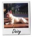 Meet Daisy: A French Bull Dog Who is More Than Just a Pet - Pet of the Week