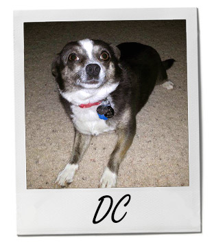 Meet DC: A Lovable Chihuahua Who Hates Baths - Pet of the Week