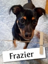 Meet Frazier, The Mini Pinscher Found In A Drainage Pipe!