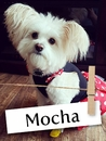 Meet Mocha: The Sassy Pomapoo!