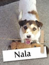 Meet Nala: The Snuggly Jack Russell Terrier