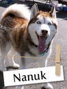 Meet Nanuk, The Loving Husky From Long Island!