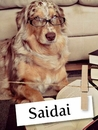 Meet Saidai, The Sweet Australian Shepherd