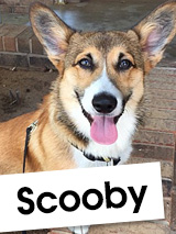 Meet Scooby: A Young Corgi Who Loves Cheering People Up