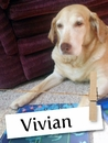 Meet Vivian, The Super Sweet Lab From Wisconsin!