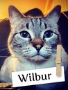 Meet Wilbur, The Munchkin Cat From Montana