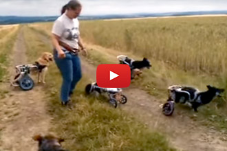 Nothing Keeps These Handicapable Dogs From Their Stick!