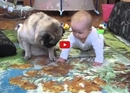One Pug. One Baby. One Cookie. Who Will Emerge Victorious? Watch to Find Out!