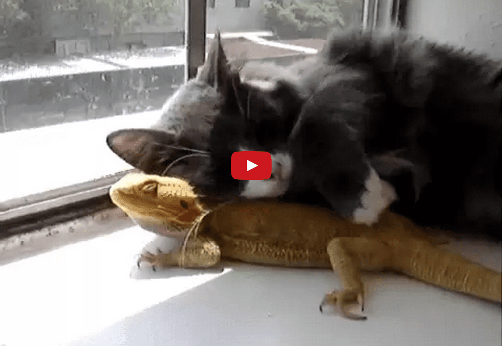 Puff the Bearded Dragon Lives by a Kitty: Watch This Lizard and Cat Bond Over Their Love of Lounging in the Sun!!