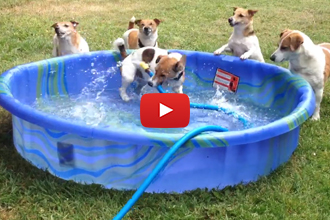 There Are 5 Jack Russells In A Pool... This Has To Be Good!