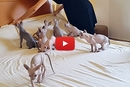 These 9 Sphynx Kittens Refuse To Let The Bed Be Made!