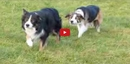 These Border Collies Think They're Sneaky... But They are in for a Serious Surprise!!