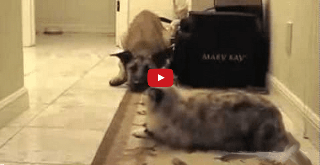 These Cats Control the Halls and Their Dogs Know It! Too Funny!!