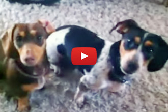 These Dachshunds Know Exactly What They Want!