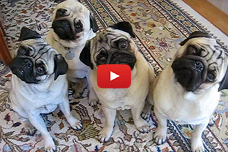 These Pugs Respond To Questions... The Result Is Too Cute!