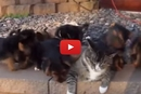 These Puppies Rush Over To Ambush The Cat