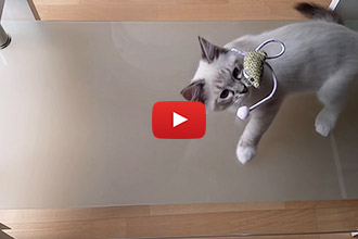 This Adorable Kitten is Puzzled by Glass Tables!