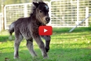 This Baby Miniature Horse Has A Huge, Yet Adorable Attitude!