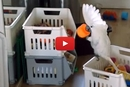 This Clever Bird Discovers A Hilarious Use For His Toys!