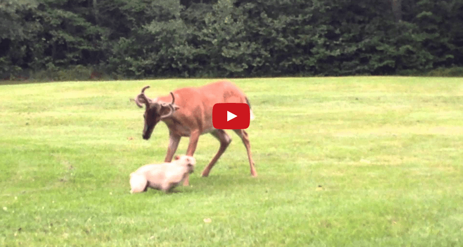 This Clip of a French Bulldog Playing with a Buck is Unbelievable!!