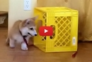 This Corgi Has An Adorable Way Of Keeping Himself Busy!
