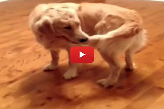 This Dog Catches His Tail... But Realizes That Letting Go Is The Hard Part!