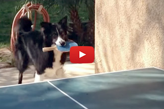 This Dog Doesn't Need Thumbs To Play Ping Pong!