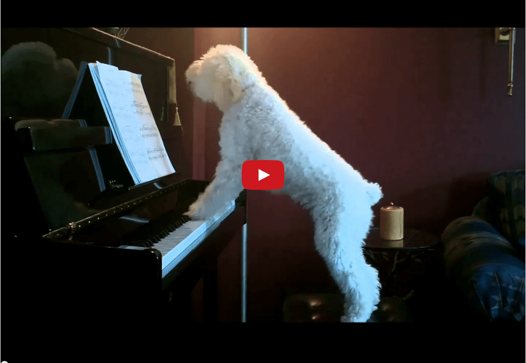 This Dog Playing a Song on the Piano Will Make Your Day! He's Practically Justin Bieber!!