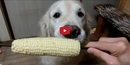 This Dog <i>Really</i> Likes Corn on the Cob! I Can't Look Away...