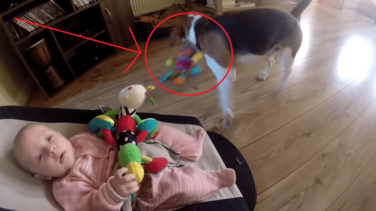This Dog Stole a Toy from a Baby and Apologizes in the Sweetest Way! Too cute!!